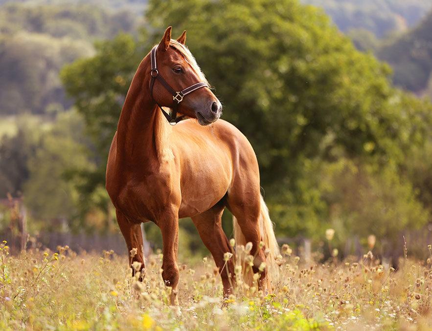 Guasha voor paarden
